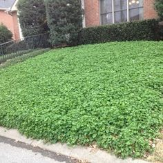 Perennial white clover presents a wonderful alternative to grass lawns. White clover grows a maximum of 6 inches, meaning No Mowing! Clover fixes nitrogen…