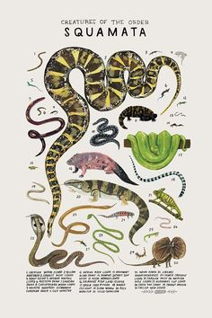 draw creatures Creatures of the order Squamata, Art print of an illustration by Kelsey Oseid. This poster chronicles 30 wild snakes, and lizards from the taxonomic order Squamata. Printed in Minneapolis on acid free 80 Les Reptiles, Reptiles And Amphibians, Botanical Illustration, Illustration Art, Vintage Inspiriert, Animal Posters, Nature Journal, Science And Nature, Natural History