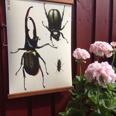 The hercules beetle, the worlds largest and coolest insect! In our handmade frames, ready to enter your modern retro home! Here showcased on a red-painted balcony in sunny Sweden.