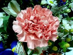 Slovenia's national flower, the carnation (Dianthus), often expresses love, fascination, and distinction, though there are many variations dependent on colour.