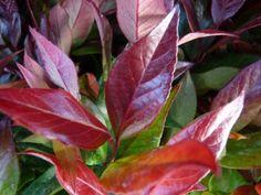 Leucothoe axillaris 'Zeblid' (Druifheide)  Leucothoe axillaris 'Zeblid' heeft de Nederlandse naam Druifheide. Leucothoe axillaris 'Zeblid' bloeit in de periode mei-juni met witte hangende bloemen.  Het blad van Leucothoe axillaris 'Zeblid' is donkergroen en rood (richting de winter wordt de plant steeds roder van kleur).