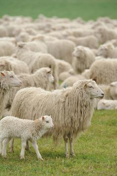 Sheep Grazing In Grassy Field Photograph