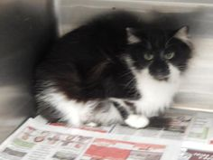 Tabitha - URGENT - located at PIKE COUNTY ANIMAL SHELTER in Pikeville, Kentucky - Adukt Female Domestic Long Hair