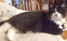 "From Patty: ""This is Little Sista – rescued/adopted her & her brother Rufus when they were approximately 8 weeks old. She is very sweet and loves to ""groom"" me."" In March, we are celebrating long hair cats. www.catfaeries.com - Products for good behavior & health for the modern housecat."