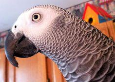 Parrots as Pets - African Grey Parrot