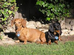 Black and brown Dachshunds.