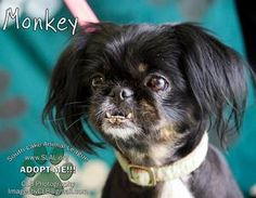 Monkey is an adoptable Pekingese Dog in Clermont, FL. STATUS: AVAILABLE We are not a 'first come' adoption center but a 'best match' one. Please read how our Adoption Process works here: https://www.f...