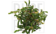 Catherinae Green