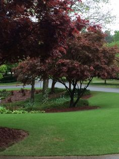 Our Japanese Maples in the front yard.