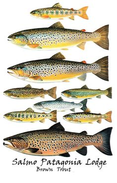 Brown Trout. For more fly fishing info follow and subscribe www.theflyreelguide.com Also check out the original pinners/creators site and suppor