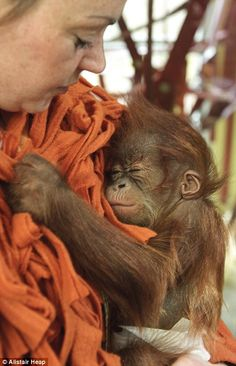 Monkey business: The 12-week-old orangutan snuggles up close to carer Kate Diver, who wears a specially-made orange jacket with tassels that mimic orangutan fur so he learns how to hold on to his new mother tightly