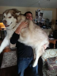 This is Blaze - Gentle giant malamute still lets me hold him! - Imgur