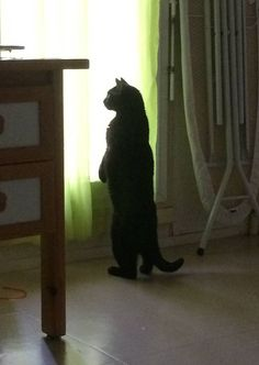 """I am the hero this city deserves."" 15 Cats Who Prefer To Stand, Thank You Very Much"