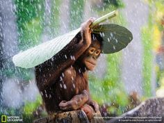 National Geographic  Orangutan in the Rain - Andrew Suryono This young orangutan uses a taro leaf to cover himself from the rain. It seems like monkeys are not the biggest fans of rainy seasons in Indonesia...