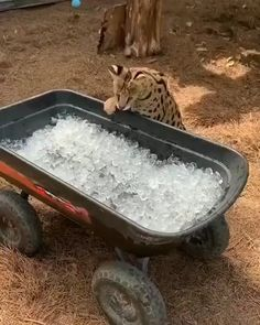 Animals Discover Savannah cat checking the temperature Tag your friends! Funny Animal Videos Cute Funny Animals Funny Animal Pictures Cute Baby Animals Animal Memes Animals And Pets Cute Cats Funny Cats Dog Videos Funny Animal Videos, Cute Funny Animals, Funny Animal Pictures, Animal Memes, Cute Baby Animals, Funny Dogs, Animals And Pets, Cute Cats, Animal Humor
