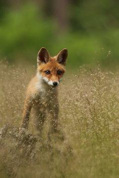 Fox by Helena Kuchynková**