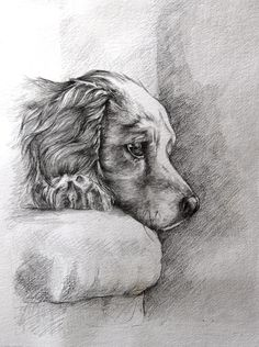 Pencil drawing of a Spaniel, drawn from life as it waited on the couch for her owner to come home. Drawn in pencil on thick art paper Prints and cards available to purchase from: http://fineartamerica.com/featured/patience-ann-pease.html