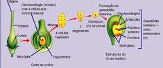 angiospermas classificação - Só Biologia ::.