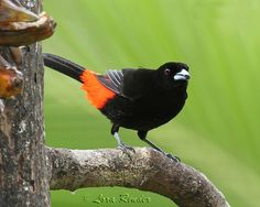 Passerini's Tanager | Southern Mexico to Pacific coast of Costa Rica & Panama