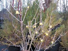 A star among winter-blooming plants is wintersweet (Chimonanthus praecox), whose small yellow flowers, produced in great abundance, perfume the air in late winter. British garden books often comment that no one who has smelled it in bloom ever forgets its scent.
