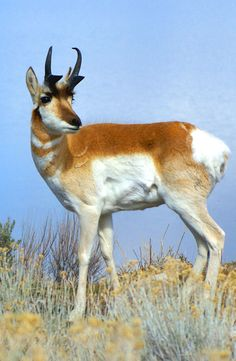 """Apparently the pronghorn were common to the island when Kit Carson and John C Fremont explored it - and named it after what they figured were """"antelope"""". They disappeared for a while while the island was a sheep ranch, but were reintroduced a number of years ago, and are doing well today. #antelope #antelopeisland"""