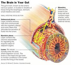 """The Brain in Your Gut: The digestive system possesses its own localized nervous system, referred to as the enteric nervous system. It's the """"mini-brain"""" located in your gut. In this mini-nervous system, neurotransmitters are released, which can relay, amplify and modulate different signals between cells of the body."""