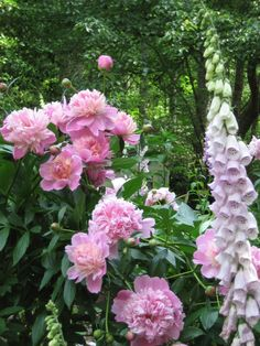 Peonies and foxgloves....classic cottage garden must-haves