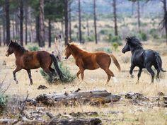 Heber Wild Horses - Save the Heber Wild Horses