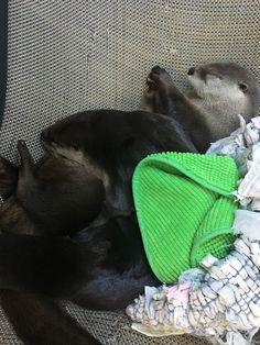 The Life Aquarist — Shasta is everyone's favorite pillow.