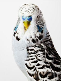 Budgerigar (Jimmy) Australia - Little birds with BIG personalities by Leila Jeffreys