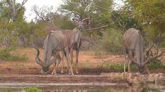 Kudus at Naledi Cat-EYE cam. - Feb 18 2016 - 12:02pm  Africam Cat Eye, Wildlife, Horses, Cats, Animals, Gatos, Animales, Animaux, Animal