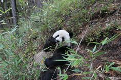 A new analysis shows that panda conservation provides great value for local people, culture and the environment, generating 20 times more money than the cost to conserve and maintain the cuddly bears  Pandanomics: Giant Panda Conservation Is Worth Billions Every Year, Study Shows