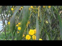 LA ACACIA AZUL: Acacia saligna