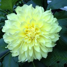 "Dinner-plate Dahlia ""Kevin Floodlight"""