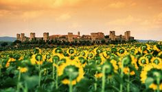 Sunflowers outside the city of Lucca in Tuscany. #Italy. #moremagazine