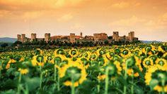 Tuscany's Sunflowers