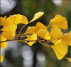 Ginko biloba  autumn leaves