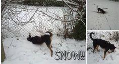 Podenco orito in the snow