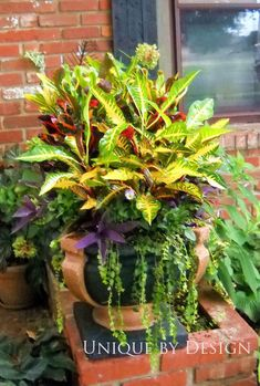 Crotons for Fall!