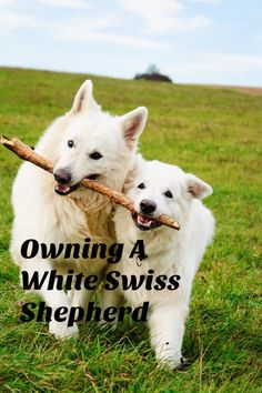 A Guide To Owning A White Swiss Shepherd, from my account of being a proud White Swiss Shepherd owner. It's no secret, I LOVE DOGS !!!!!. My two dogs are like my babies and always will be. We currently own a 2.5 year old White Swiss Shepherd and a 10 year old Border Collie. It …