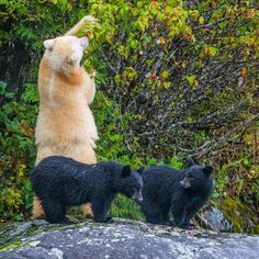 Photograph by for // Two Spirit Bear (Kermode Bear) cubs wait patiently while their mother gorges on crab apples in the Great Bear Rainforest of British Columbia. Animals And Pets, Baby Animals, Funny Animals, Cute Animals, Wild Animals, Two Spirit, Spirit Bear, Love Bear, Bear Cubs
