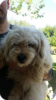Thousand Oaks, CA - Maltese/Poodle (Standard) Mix. Meet Charles A618631, a dog for adoption. http://www.adoptapet.com/pet/12773212-thousand-oaks-california-maltese-mix