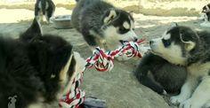 Siberian Husky puppies playing tug-of-war