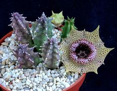 Huernia reticulata.
