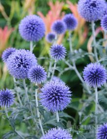 Veitch's Blue Globe Thistleis clump forming perennial thatcan grow 4 feet tall. It has course spiny leaves and iridescent blue globe shaped flowers. Globe Thistle are very tolerant of drought conditions and dry soils. They are a great choice for all gardens: attracts butterflies & hummingbirds, deer resistant, easy to grow and an excellent cut flower and dried flower!