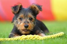 Image result for australian terrier puppy