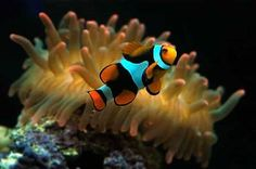 Clownfish and sea anenomes