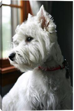 White Westie At Window by Stella Luna Photography
