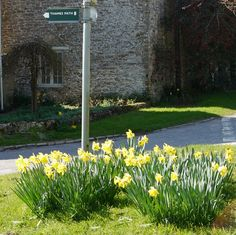 Thames Path:  Daffodils around the signpost at Ewan
