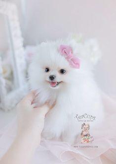 97 Best Teacup Pomeranians Pomeranian Puppies Images Dogs Cubs